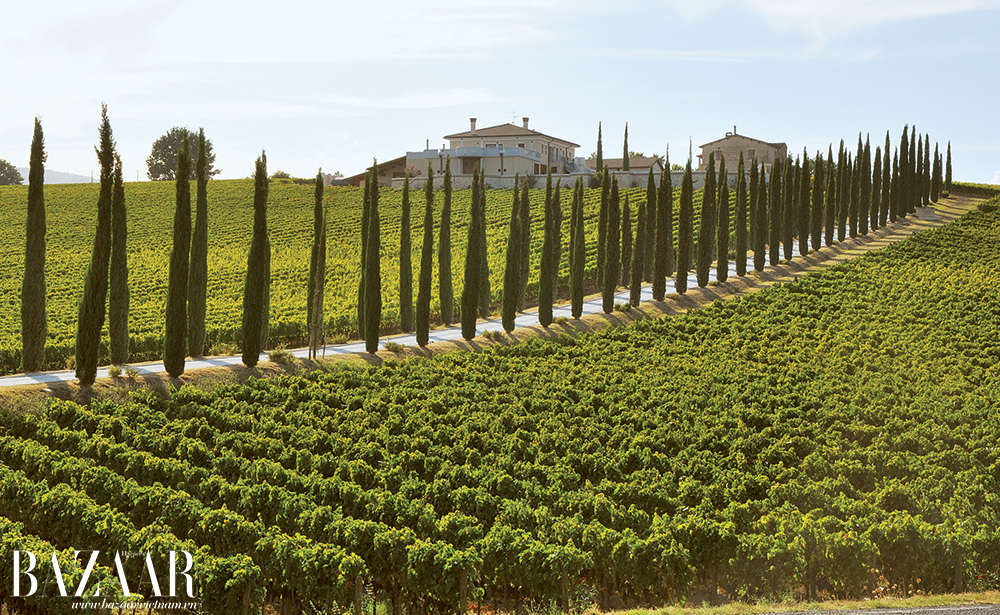 Con đường mòn xuyên qua ruộng nho với những hàng cây đặc trưng của miền Trung nước Ý