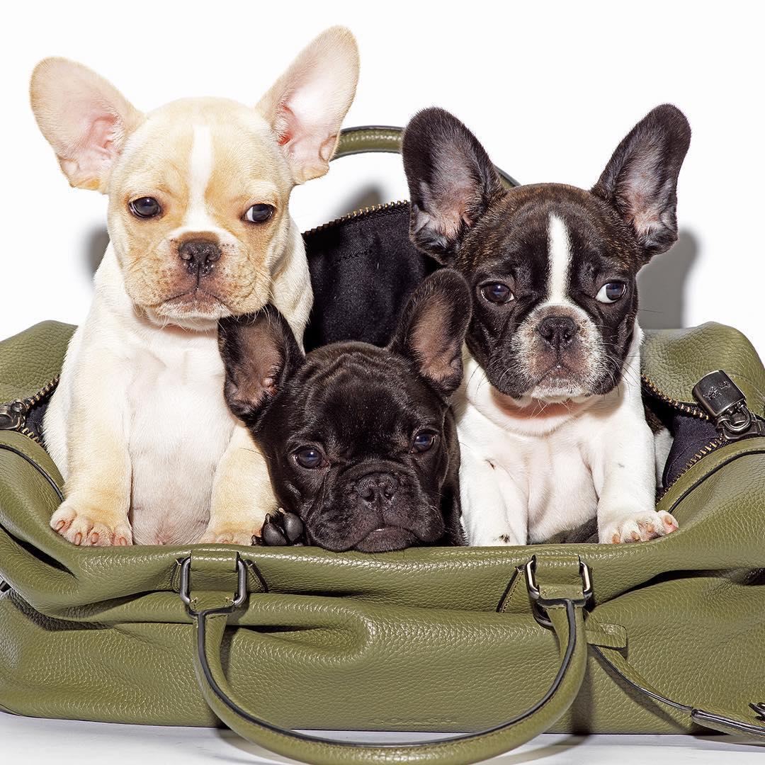 Chiến dịch chụp hình cún cưng trong túi Coach tạo nên hiệu ứng lan tỏa thương hiệu trong giới trẻ.