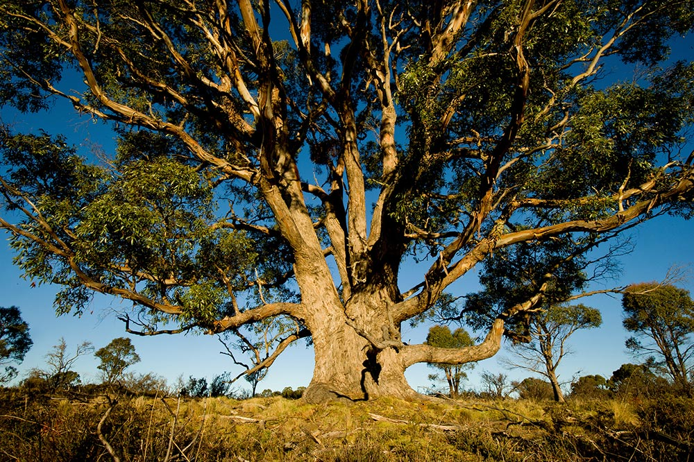 Chất liệu Tencel là gì? Cây bạch đàn Eucalyptus của Úc là nguồn cung cấp gỗ duy nhất làm nên sợi Tencel
