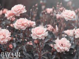 Lotion de Rose