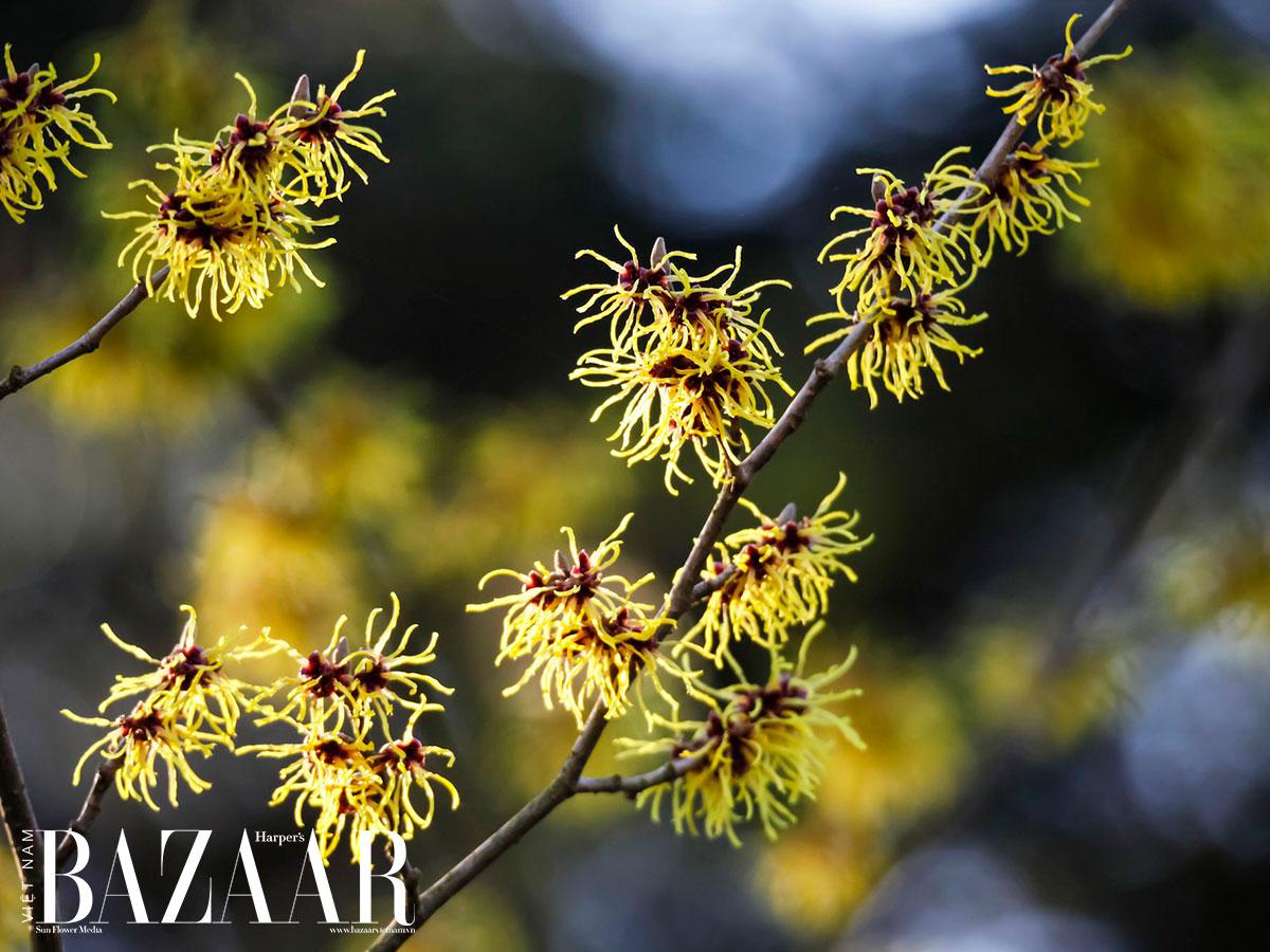 Witch Hazel là gì và dùng nó để dưỡng da sao cho tốt? 1