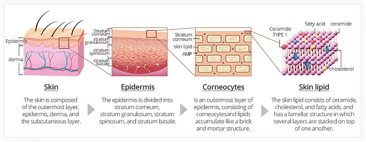 Lớp màng hydrolipid là gì? | Giải mã da nhạy cảm 1
