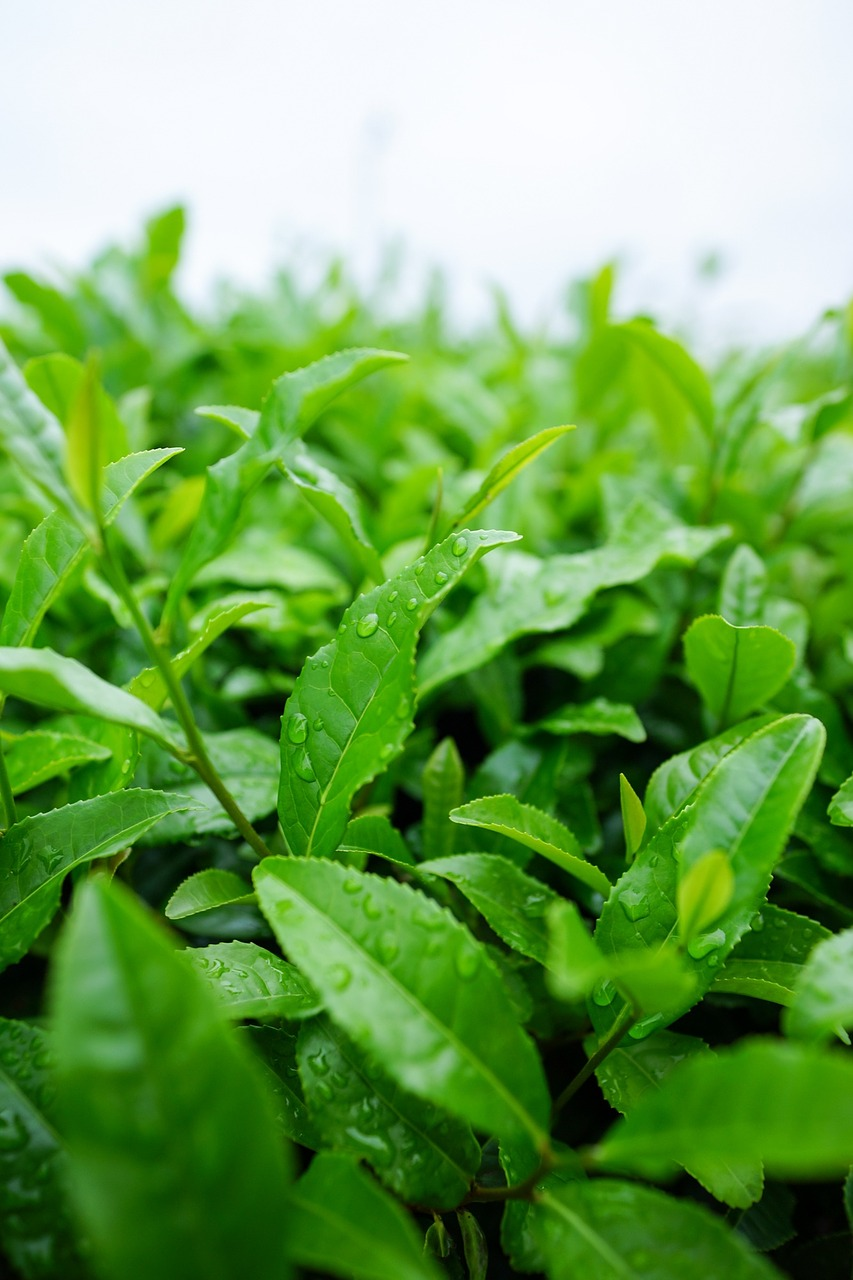 trà matcha có xuất xứ từ cây Camellia sinensis
