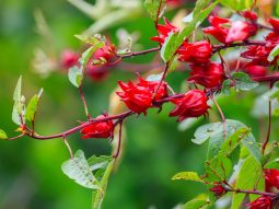 công dụng hoa atiso đỏ