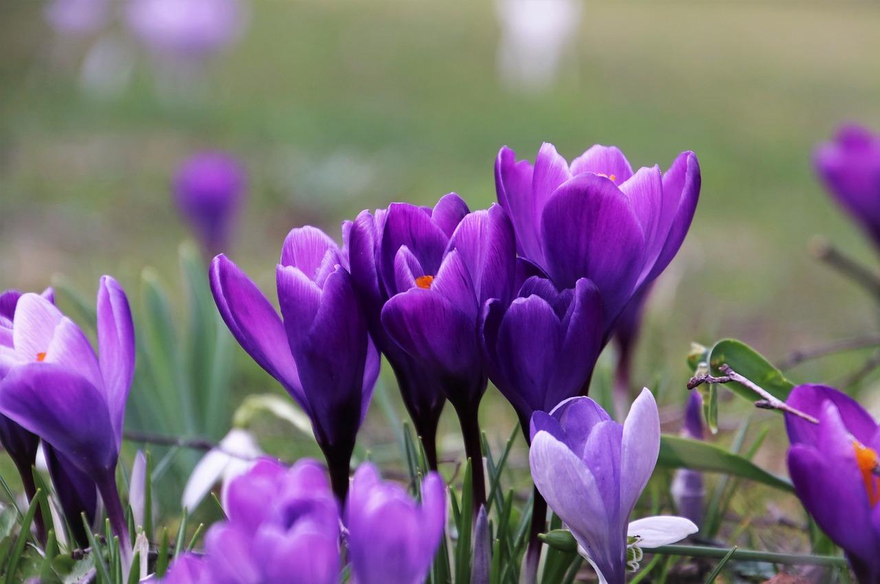 hoa saffron