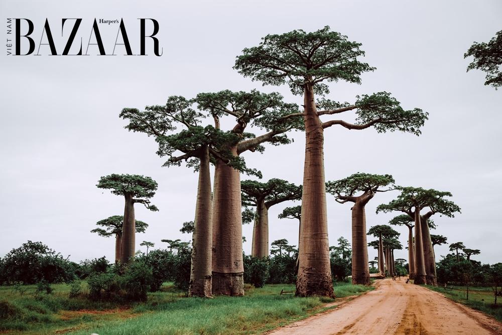 BZ-dau-baobab-la-gi-1