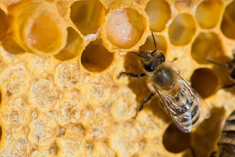 Cách sử dụng sữa ong chúa làm đẹp da